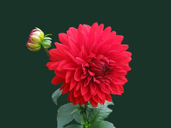 Best Bulbs For Containers Dahlia