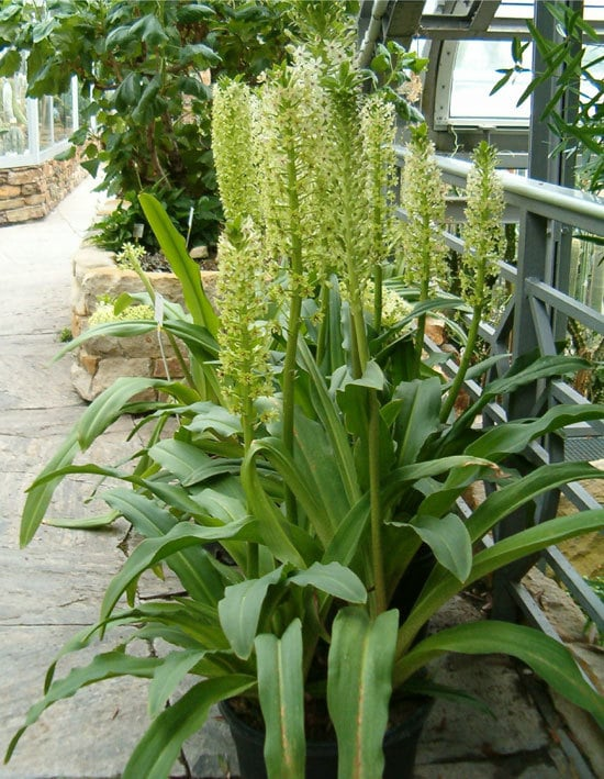 Best Bulbs For Containers Eucomis