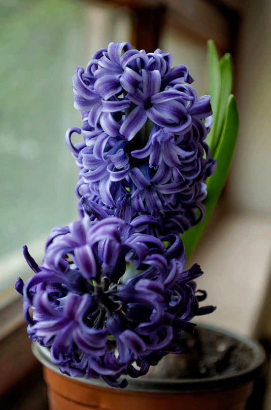 Best Bulbs For Containers Hyacinth