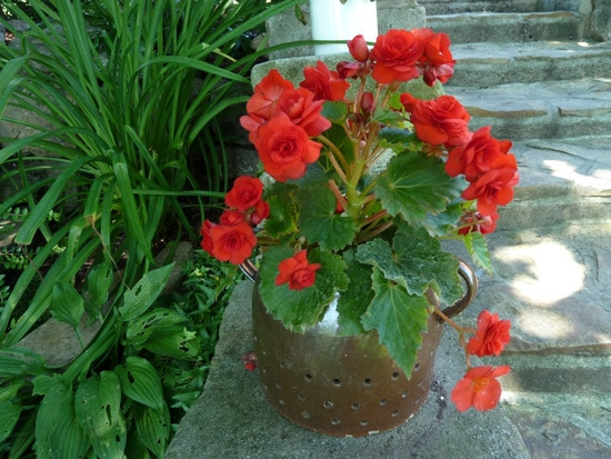 Best Bulbs For Containers Tuberous Begonias