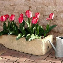 Best Bulbs For Containers Tulips