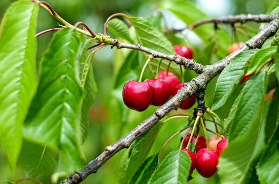 Best Fruit Trees To Grow In Containers Cherry