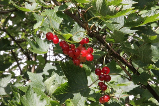 Best Fruit Trees To Grow In Containers Currant