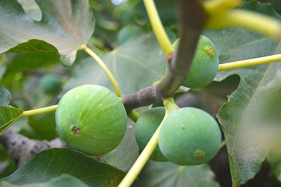 Best Fruit Trees To Grow In Containers Fig