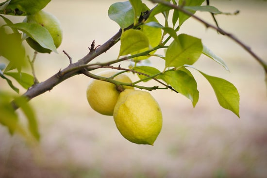 Best Fruit Trees To Grow In Containers Lemons