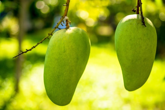 Best Fruit Trees To Grow In Containers Mango