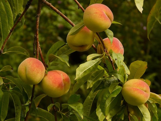 Best Fruit Trees To Grow In Containers Peach Nectarine Apricot