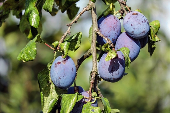 Best Fruit Trees To Grow In Containers Plum