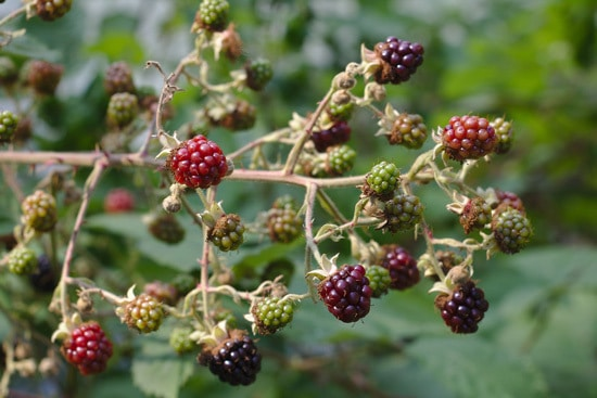 Best Fruit Trees To Grow In Containers Raspberry and Blackberry