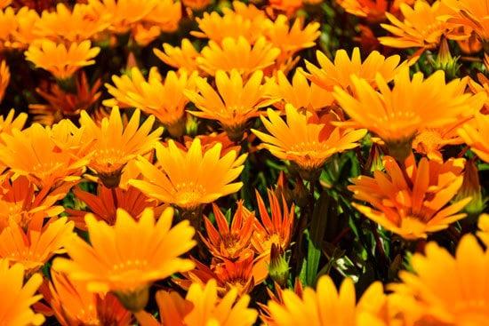 Best Trailing Annual Flowers African Daisy Osteospermum
