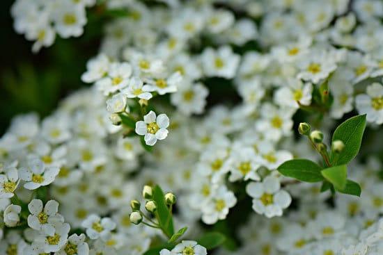 Best Trailing Annual Flowers Alyssums