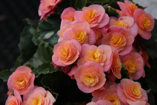 Best Trailing Annual Flowers Begonia Trailing