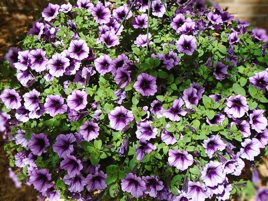 Best Trailing Annual Flowers Impatiens