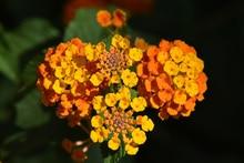 Best Trailing Annual Flowers Lantana Lantana Camara
