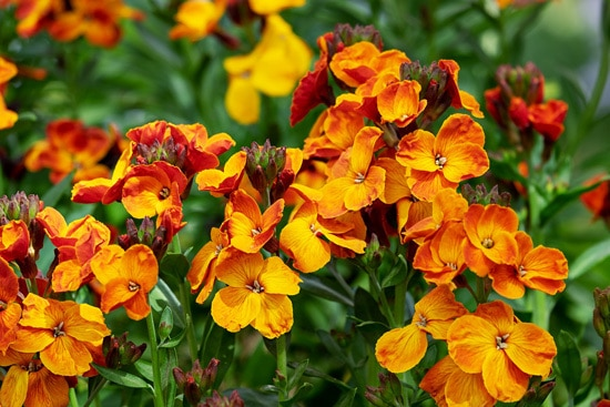 Best Trailing Annual Flowers Lobelia Lobelia Erinus