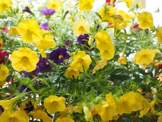 Best Trailing Annual Flowers Million Bells Calibrachoa