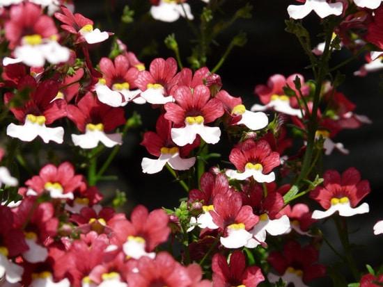 Best Trailing Annual Flowers Nemesia