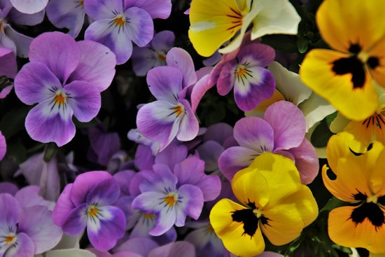 Best Trailing Annual Flowers Pansy