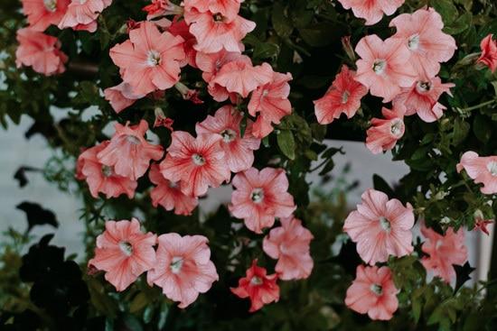 Best Trailing Annual Flowers Petunia