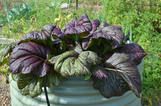 Black Vegetables For Your Garden Purple Lady Bok Choy