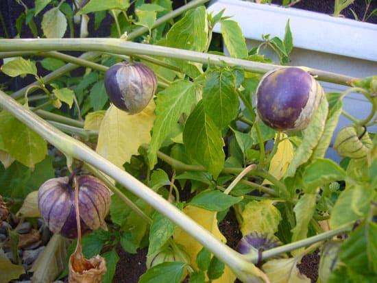 Black Vegetables For Your Garden Tiny Coban Tomatillo