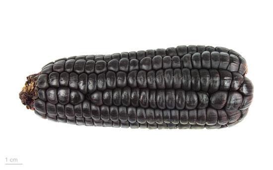 "Black Vegetables For Your Garden Zea Mays ""Maiz Morado"" Black Corn Purple Corn"