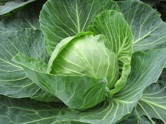 Cruciferous Vegetables Cabbage