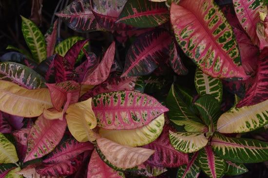 Manageable and Colorful Houseplants Croton Codiaeumvariegatum