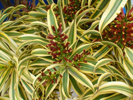 Manageable and Colorful Houseplants Madagascar Dracaena