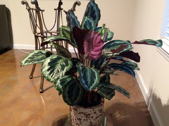 Manageable and Colorful Houseplants Prayer Plant Marantaleuconeura
