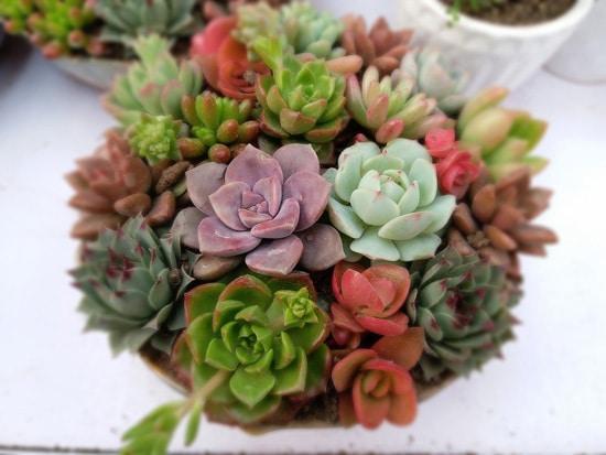 Manageable and Colorful Houseplants Succulents Dessert Gem Plants