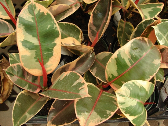 Manageable and Colorful Houseplants Variegated Rubber Plant Ficus Elastica