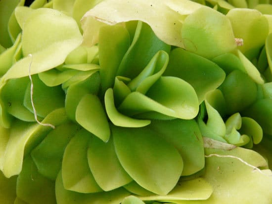 Unique Carnivorous Houseplants Butterwort Pinguicula2