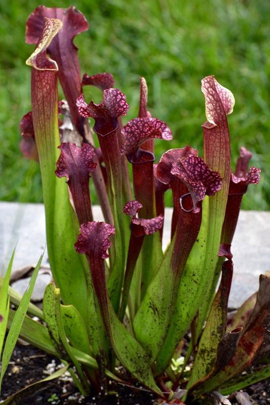Unique Carnivorous Houseplants Tropical Pitcher Plant Nepenthes