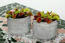 Unique Carnivorous Houseplants Venus Flytrap Dionaea Muscipula