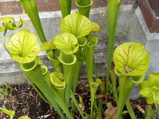 Unique Carnivorous Houseplants Yellow Pitcher Plant