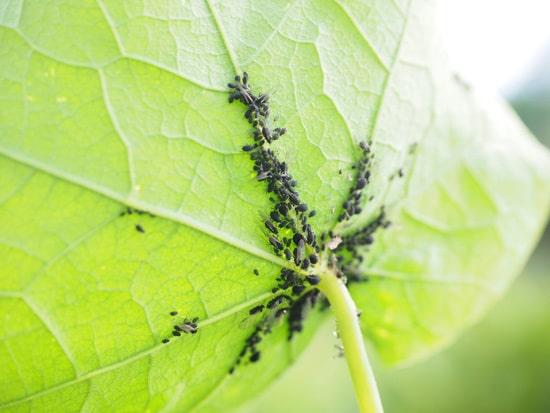 nasturtium black aphids