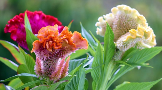 Celosia Easy Annual Flowers To Grow From Seed