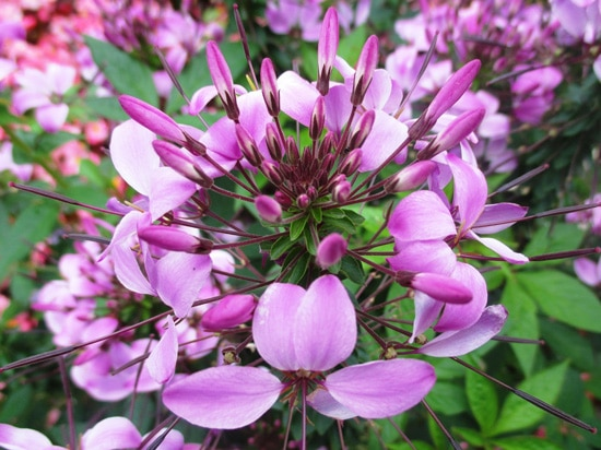 Cleome Easy Annual Flowers To Grow From Seed