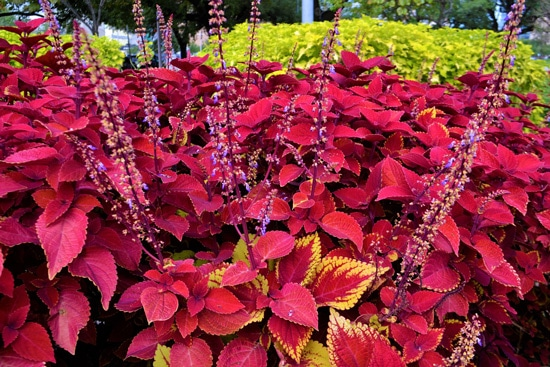 Coleus Easy Annual Flowers To Grow From Seed