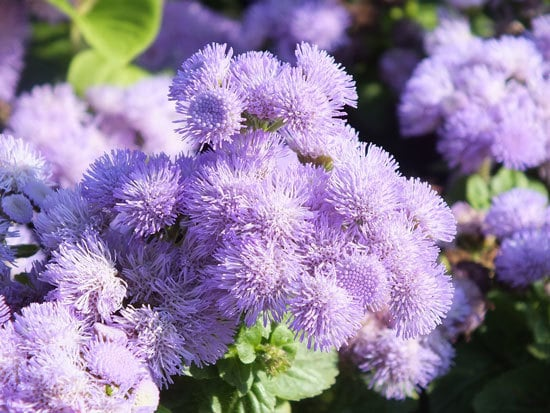 Colorful Annual Flowers Ageratum