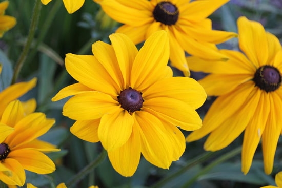 Colorful Annual Flowers Black Eyed Susan Rudbeckia
