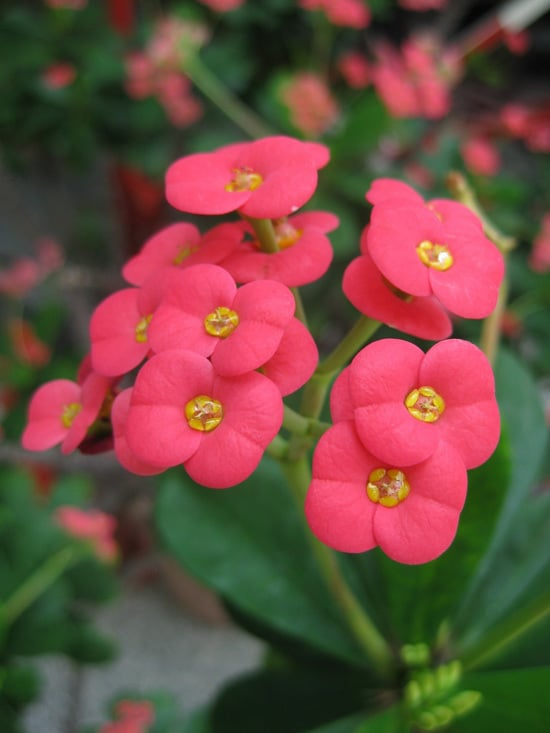 Colorful Annual Flowers Euphorbia
