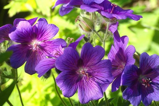 Colorful Annual Flowers Geranium