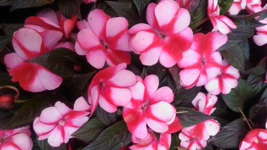Colorful Annual Flowers New Guinea Impatiens