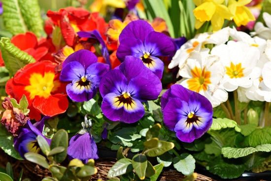 Colorful Annual Flowers Pansy
