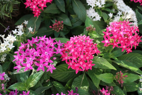 Colorful Annual Flowers Pentas