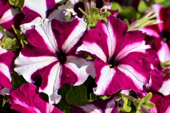 Colorful Annual Flowers Petunia