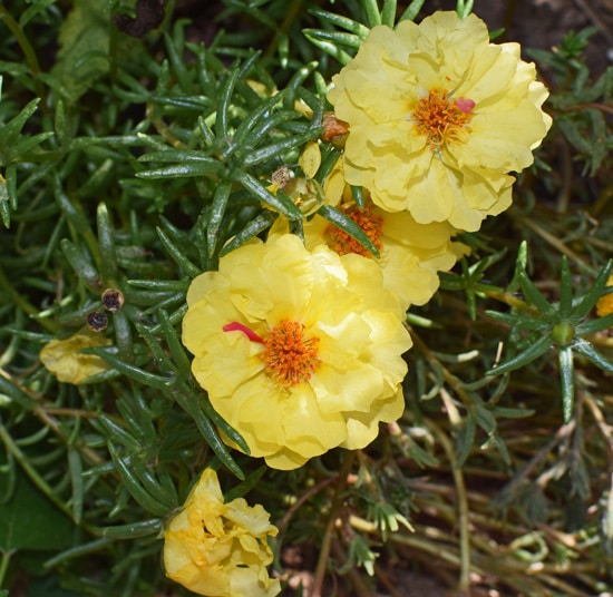 Colorful Annual Flowers Portulaca