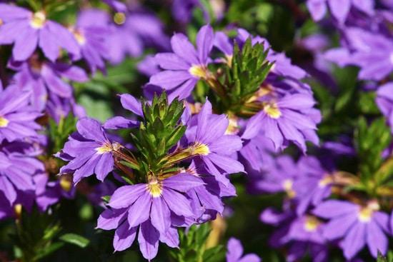 Colorful Annual Flowers Scaevola Aemula Fan Flower